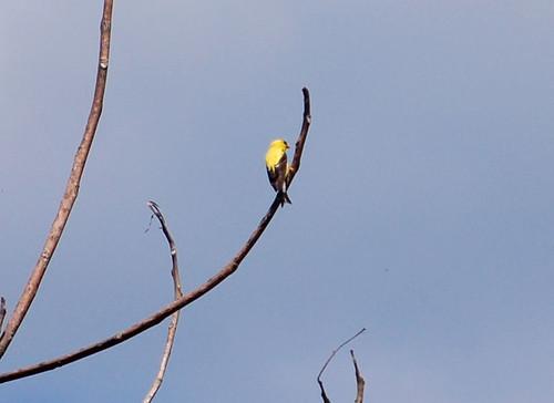 Goldfinch2 Along Pine Creek Trail