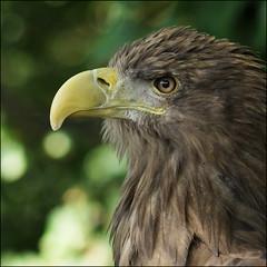 Eagle (migajiro) Tags: portrait zoo dof eagle retrato sony alpha aguila migajiro abigfave ltytrx5 ltytr2 ltytr1 6retos6 fotocompetition fotocompetitionbronze