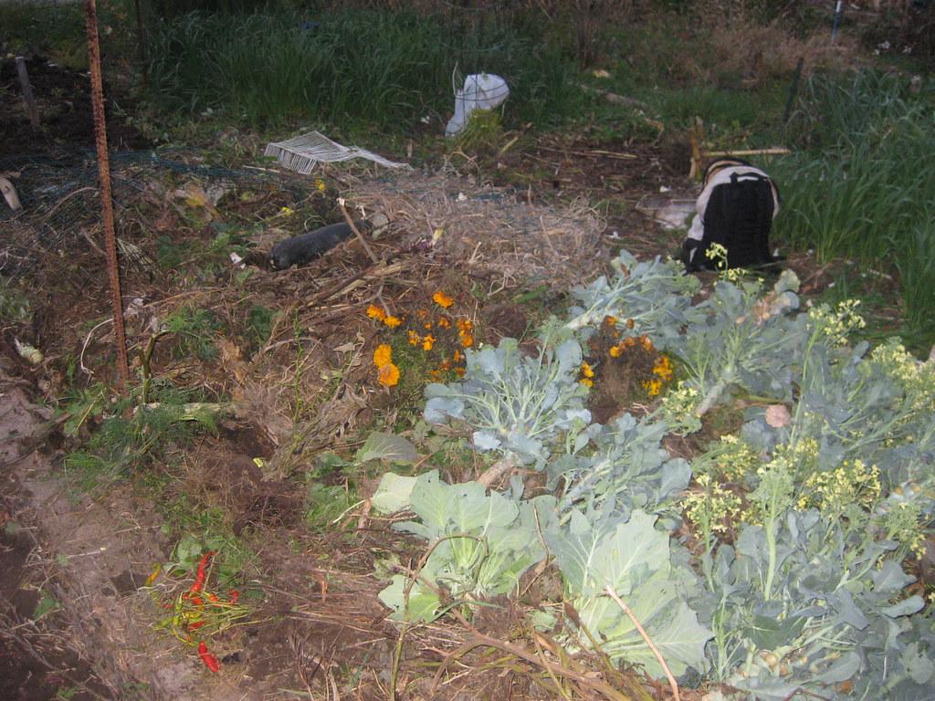 garlic fall 2008