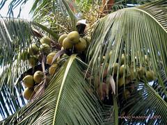 Coconut Tree (mang M) Tags: friends coconuttree coconuts soe buko eliteimages mangmaning2000