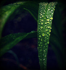 My favourite (oh-so-rosie) Tags: green rain leaf cross drips process ilovegreen eow colourplosion voteobama tuesdayissuchaboringsaysatatworkwaitingforthephonetoring dripsdontgetwetonlybigger whothinksishouldsticktonaturephotographyiseemtosuckateverythingelse wow9faves