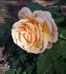 Scent of a rose (fwithclass44) Tags: flower nature rose yellow peach peddals