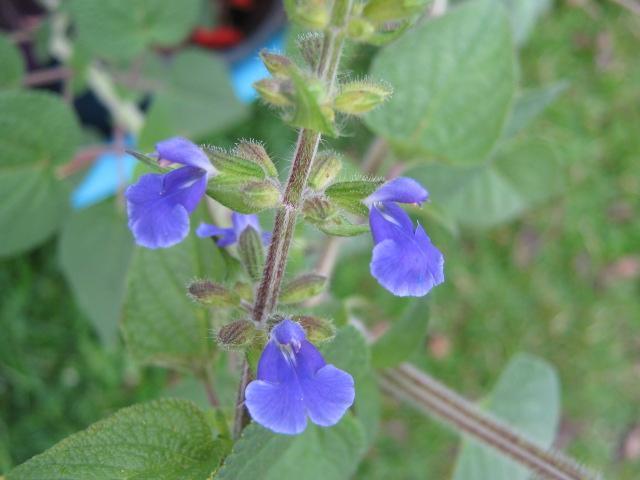 Salvia amarissima !!! 3017024834_1400cc9304_z