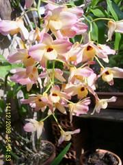 orquideas orchids colors DENDROBIUM MOSCHATUM NIL GAZZOLA Nilgazzola (nilgazzola) Tags: brasil de foto orchids sp ou com orquideas tirada maquina echapora longa haste gazzola caichos nilgazzola