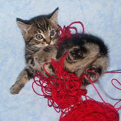 Kitten & Yarn (Julia-D) Tags: cute cat kitten yarn