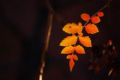 katie melua:if the lights go out (visualpanic) Tags: barcelona autumn red orange black tree hoja nature colors leaves backlight automne contraluz hojas arbol leaf novembre negro bcn natura otoño vermell catalunya 2008 arbre negre fulla tardor taronja contrallum sarrià fulles