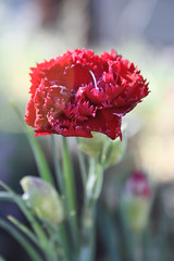 once... ({ Amy }) Tags: red plant flower nature petals spring bokeh petal lensflare layer carnation delicate sunflare