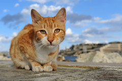 Malta Cat: The Tiger (stephanrudolph) Tags: blue orange brown animal cat wow catchycolors nikon europa europe malta sharp crop handheld tamron animalplanet 1735mm blueribbonwinner otw bej tamronspaf1735mmf284dildasphericalif mywinners abigfave bestofcats platinumphoto colorphotoaward d700 flickraward pet100 goldstaraward fotosensor nikonflickraward alittlebeauty boc1208 5boc boc0109