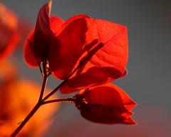 Take a Walk on the Wild Side (RnzWithScizzerz) Tags: shadow red arizona southwest flower seethru bougainvilla rnzwithscizzerz hbwe icantshootthemfromthefrontsoillshootfromthebackha inmyyardkathy diduseethebug