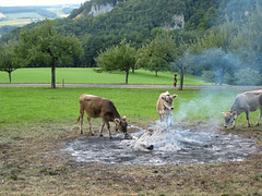 Calves investigate smoking ashes
