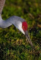 Blue Heron Wetlands 382 (Nature Photos by Scott) Tags: baby nature birds florida crane wildlife birding wetlands sandhillcrane