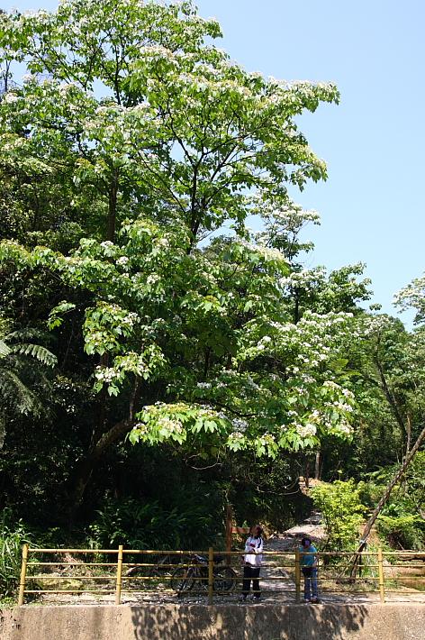 富民親水公園賞桐花19
