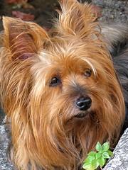 En attente... (annieclic (absente)) Tags: chien animal poilu quadrupde