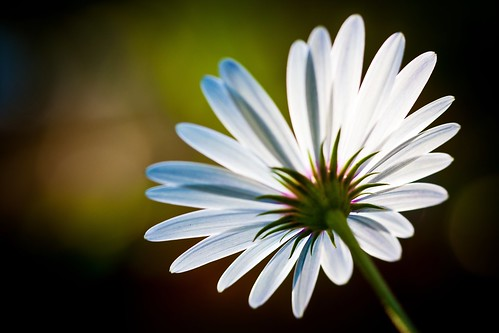 five daisies [lucent]: 2/5