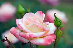 Diana, Princess of Wales (Paul in Japan) Tags: park flower rose wales princess petal diana