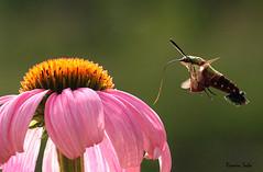 Coneflower and Hummingbird Moth; at Eternity's Gate (Ramen Saha) Tags: flower insect moth coneflower hummingbirdmoth snowberryclearwing hemarisdiffinis insectinflight echinaceasp ramensaha
