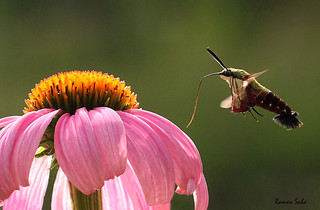 Coneflower and Hummingbird Moth; at Eternity's Gate