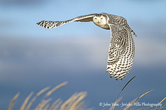 A Snowy Owl in Flight over the Dunes of Sailsbury MA Beach (Jericho Hills Photography) Tags: winter wild white snow bird nature beautiful yellow outdoors flying wings eyes snowy wildlife hunting beak feathers feather arctic talon raptor owl hunter soaring predator majestic ornithology raptors owls birdsofprey carnivore predators feathered bubo nyctea snowyowl nycteascandiaca naturephotography hinter whiteowl wildlifephotography buboscandiacus scandiacus winterwildlife owlflying owlinflight fliight snowyowlinflight johnvose jerichohillsphotography