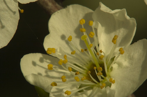Plum Bloosom as shot_AP50153