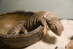 Rizzo the Lizzo (Brittany No L) Tags: pet lizard rizzo