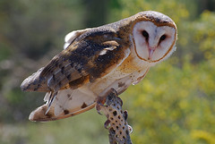 Barn Owl on Cactus skeleton (wplynn) Tags: arizona bird birds barn owl specanimal avian excellence raptor raptors