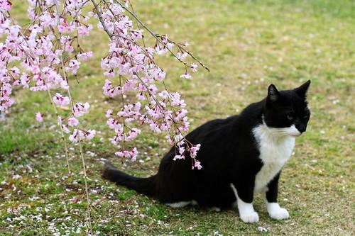 sakura & cat