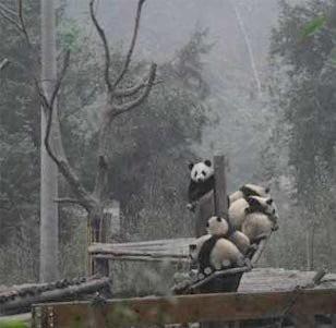 四川地震中可愛的熊貓寶寶