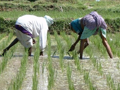 Work in rice paddy