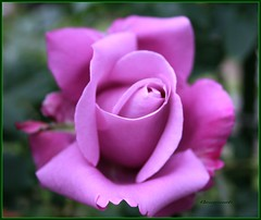 Purple rose...glory and majesty (^-^) (Queenscents) Tags: flowers light france flower macro nature sign rose japan petals flickr purple angle glory violet petal scents enchantment majesty hybridtea purplerose  opulence flickrsbest queenscents theperfectphotographer charlesdgaulle goldstaraward