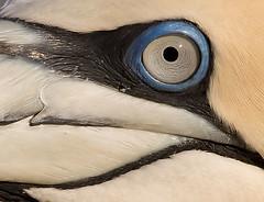gannet_eye