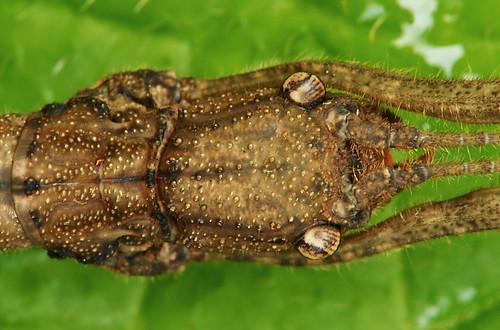 DSC_0021_Stick Insect (Asceles tanarata singapura)