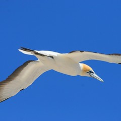 Flying High (Heaven`s Gate (John)) Tags: blue newzealand sky nature birds flying wings alone flight clear northisland napier avian gannets capekidnappers hawkesbay flyinghigh johndalkin heavensgatejohn avianexcellence