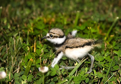Portrait of a Killdeer Chick (Uncle Phooey) Tags: killdeer explore babybird wildbird abigfave theunforgettablepictures unclephooey killdeerchick