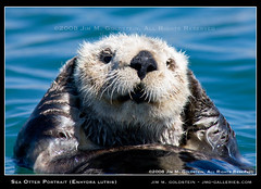 California Sea Otter Portrait (Enhydra lutris) (jimgoldstein) Tags: california portrait monterey wildlife seaotter supershot enhydralutris californiaseaotter jmggalleries anawesomeshot impressedbeauty aplusphoto jimmgoldstein 1dsmarkiii naturethroughthelens epiceditsselection