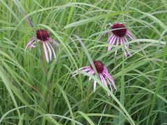 pale purple coneflower