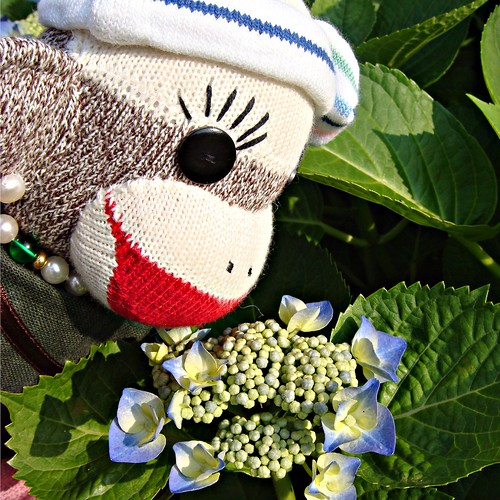 Kei thinks that all sock monkeys should like looking at the lovely hydrangea blossoms! (by martian cat)