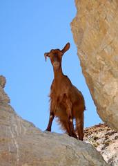 A Cretan goat on the steep crags along the rocky western coast of the Greek island of Crete (Peace Correspondent) Tags: portrait animal rock stone d50 island rocks europe mediterranean stones lovely1 eu goat fv5 greece crete southerneurope greekisland 50v5f views50 views100 views75 views25