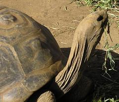 Mauritius - Tortoise chewing grass