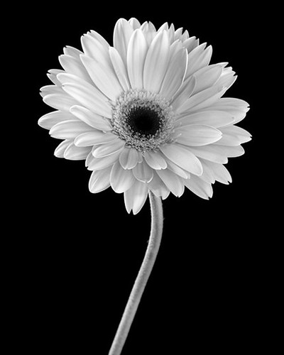 jennifer squires ross gerbera