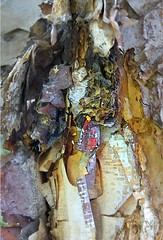 Barking Tree Spirit (Connie Krejci) Tags: tree art photo searchthebest spirit bark papyrus barking paperbark riverbirch mykindofpicturegallery maxfudge awardtree conniefk
