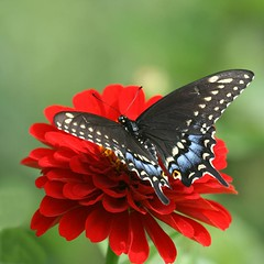 black swallowtail ... (jude) Tags: blue red summer black flower macro green wow butterfly bravo bokeh background explore zinnia 2008 swallowtail judithmeskill interestingness5 magicdonkey outstandingshots 30faves30comments300views 50faves50comments500views supereco highestposition5onsaturdayseptember62008 canifavethisagainpleeeeeasexoxoxyouarethebestmymostwonderfulfriendxoxoxox