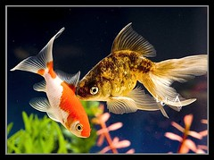 Comet and Goldfish (LelisA) Tags: 1001nights anaheimca fineartphotos goldenmix abigfave aplusphoto theunforgettablepictures colorfullaward grouptripod underwaterfamily newworldglobalaward acquariumfish goldfishcomet