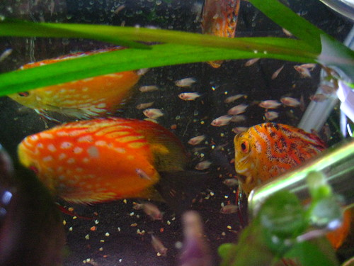 2 week old Discus Fry