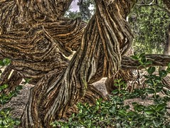 Twisted HDR (coondawg_97 (AKA CrookedNose)) Tags: trees sandiego olympus photowalk gnarly hdr balboapark kelby e510 zd 3xp 40150mm thechallengefactory