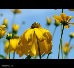 ~Lift My Eyes To The Sky~ (Adettara Photography) Tags: flower macro nature beauty yellow deutschland bravo shiny europe searchthebest frontpage soe happyweekend blueribbonwinner fantasticflower golddragon abigfave worldbest platinumphoto anawesomeshot aplusphoto visiongroup explore62 goldenphotographer diamondclassphotographer flickrdiamond ysplix excellentphotographerawards focuslegacy theunforgettablepictures colourartaward betterthangood theperfectphotographer goldstaraward adettara excellenceflower natureselegantshots natureelegantshots ahqmacro theenchantedcarousel magicdonkeysbest vision100 liftmyeyestothesky
