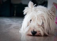 lmosan (Balzs B.) Tags: dog white dogs westhighlandwhiteterrier westy kutya westi canonef24105mmf4lisusm kutyus 40d