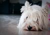 Álmosan (Balázs B.) Tags: dog white dogs westhighlandwhiteterrier westy kutya westi canonef24105mmf4lisusm kutyus 40d