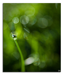 waterdrop (Dshah00) Tags: morning water grass yard nikon waterdrop sigma drop shah d300 1850f28 dipen 101208 bokehoftheday dipenshah