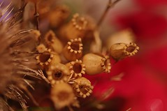 Seed Pods (Cryodigital - Sadly deceased) Tags: macro dof seeds teasel seedpods 1001nights faf redcampion ineff