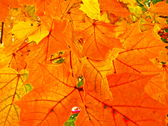 Colors of Fall (Intentionally Lost) Tags: fall leaves leaf maple colorful connecticut ct foliage october182008 kgiantx giantonio kgiantonio kengiantonio 2008kwgiantonioallrightsreserved